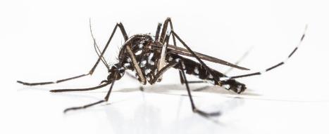 Aedesaegypti